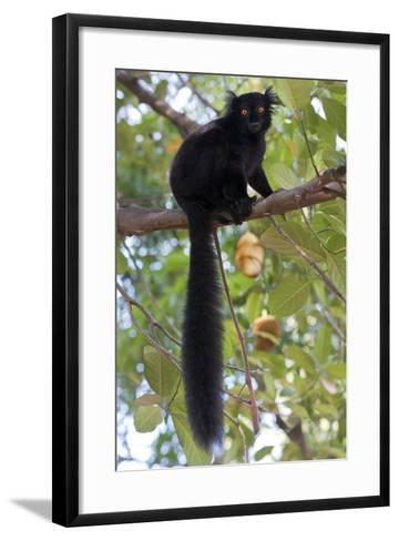 Black Lemur (Eulemur Macaco) Male, Nosy Komba, Madagascar-Bernard Castelein-Framed Art Print