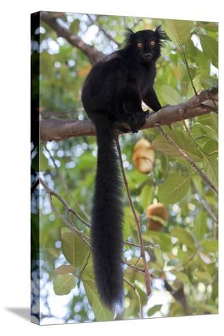 Black Lemur (Eulemur Macaco) Male, Nosy Komba, Madagascar-Bernard Castelein-Stretched Canvas Print