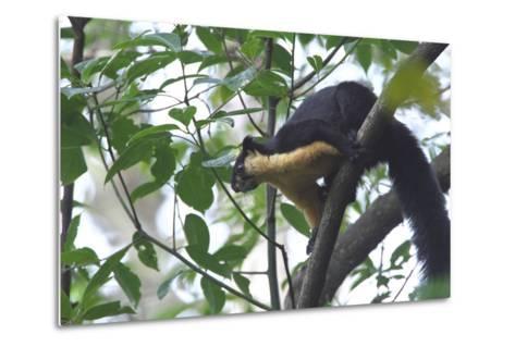 Black Giant Squirrel (Ratufa Bicolor) Gaoligong Mountain National Nature Reserve-Dong Lei-Metal Print