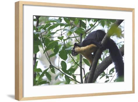Black Giant Squirrel (Ratufa Bicolor) Gaoligong Mountain National Nature Reserve-Dong Lei-Framed Art Print