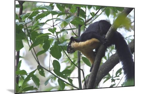 Black Giant Squirrel (Ratufa Bicolor) Gaoligong Mountain National Nature Reserve-Dong Lei-Mounted Photographic Print