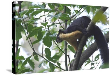 Black Giant Squirrel (Ratufa Bicolor) Gaoligong Mountain National Nature Reserve-Dong Lei-Stretched Canvas Print