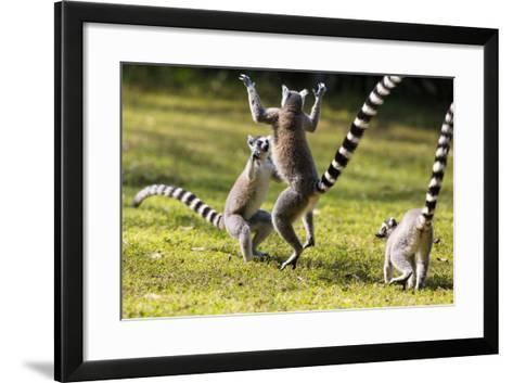 Ringtailed Lemurs Playing (Lemur Catta) Nahampoana Reserve, South Madagascar, Africa-Konrad Wothe-Framed Art Print