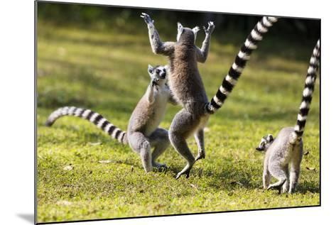 Ringtailed Lemurs Playing (Lemur Catta) Nahampoana Reserve, South Madagascar, Africa-Konrad Wothe-Mounted Photographic Print
