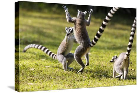 Ringtailed Lemurs Playing (Lemur Catta) Nahampoana Reserve, South Madagascar, Africa-Konrad Wothe-Stretched Canvas Print