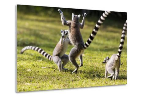 Ringtailed Lemurs Playing (Lemur Catta) Nahampoana Reserve, South Madagascar, Africa-Konrad Wothe-Metal Print