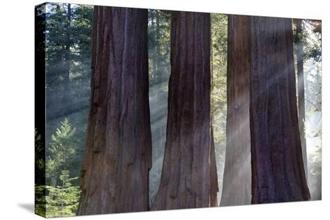 Trunks Of Giant Sequoia Trees (Sequoiadendron Giganteum) Sequoia National Park, California, USA-Jouan Rius-Stretched Canvas Print