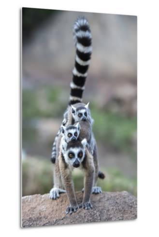 Ring-Tailed Lemur (Lemur Catta) Female Carrying Two Babies-Bernard Castelein-Metal Print