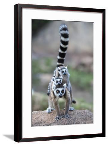 Ring-Tailed Lemur (Lemur Catta) Female Carrying Two Babies-Bernard Castelein-Framed Art Print