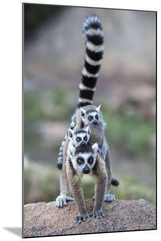 Ring-Tailed Lemur (Lemur Catta) Female Carrying Two Babies-Bernard Castelein-Mounted Photographic Print