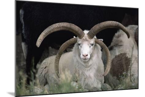 Rare Breed Domestic Churro Sheep, New Mexico-John Cancalosi-Mounted Photographic Print