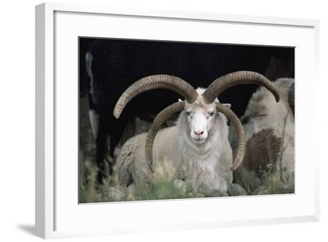 Rare Breed Domestic Churro Sheep, New Mexico-John Cancalosi-Framed Art Print