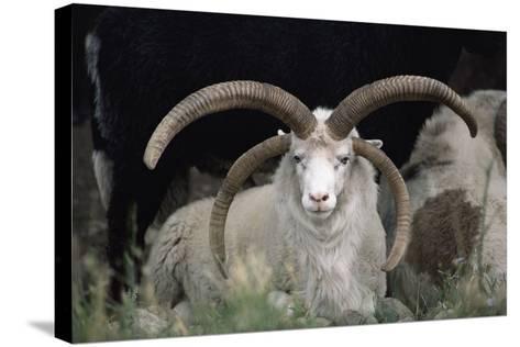 Rare Breed Domestic Churro Sheep, New Mexico-John Cancalosi-Stretched Canvas Print
