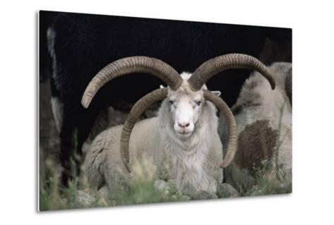 Rare Breed Domestic Churro Sheep, New Mexico-John Cancalosi-Metal Print