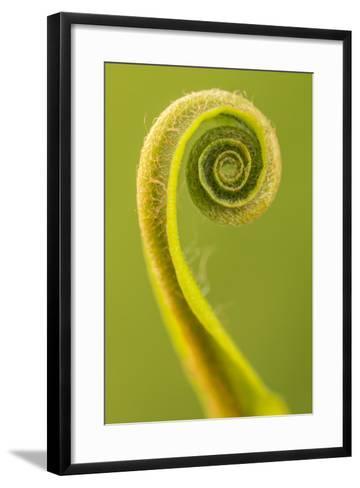 Harts Tongue Fern (Phyllitis Scolopendrium) Leaf Unfurling, Cornwall, UK, May-Ross Hoddinott-Framed Art Print