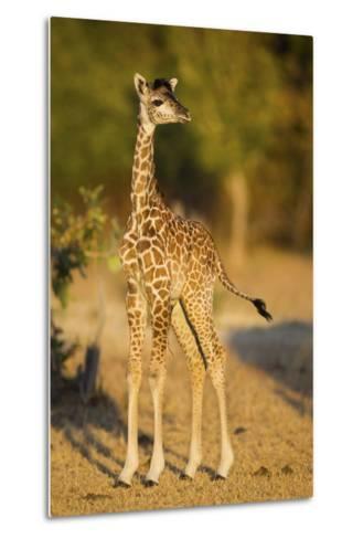Rhodesian - Thornicroft Giraffe (Giraffa Camelopardalis Thornicrofti) Baby-Will Burrard-Lucas-Metal Print
