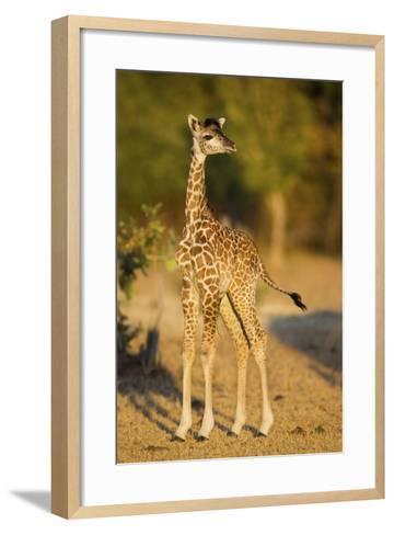 Rhodesian - Thornicroft Giraffe (Giraffa Camelopardalis Thornicrofti) Baby-Will Burrard-Lucas-Framed Art Print