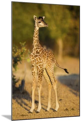 Rhodesian - Thornicroft Giraffe (Giraffa Camelopardalis Thornicrofti) Baby-Will Burrard-Lucas-Mounted Photographic Print