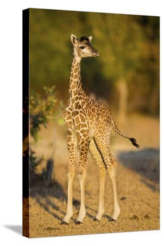 Rhodesian - Thornicroft Giraffe (Giraffa Camelopardalis Thornicrofti) Baby-Will Burrard-Lucas-Stretched Canvas Print