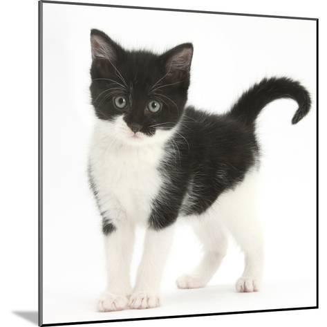 Black-And-White Kitten Standing, Against White Background Digitally Enhanced-Mark Taylor-Mounted Photographic Print