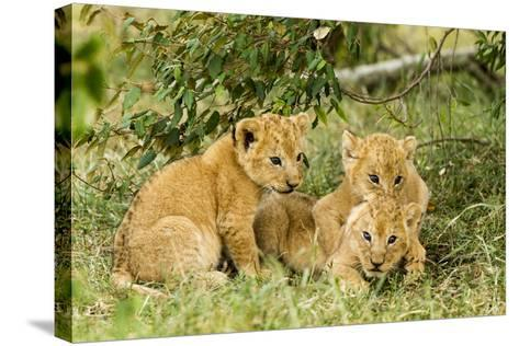Lion (Panthera Leo) Cubs Playing, Masai Mara Game Reserve, Kenya-Denis-Huot-Stretched Canvas Print