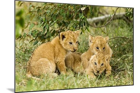 Lion (Panthera Leo) Cubs Playing, Masai Mara Game Reserve, Kenya-Denis-Huot-Mounted Photographic Print