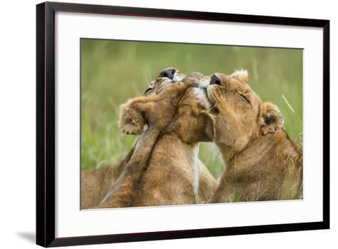 Lionesses (Panthera Leo) Grooming Each Other, Masai-Mara Game Reserve, Kenya-Denis-Huot-Framed Art Print