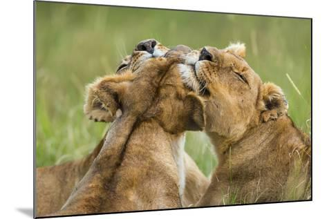 Lionesses (Panthera Leo) Grooming Each Other, Masai-Mara Game Reserve, Kenya-Denis-Huot-Mounted Photographic Print