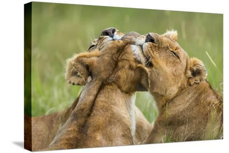Lionesses (Panthera Leo) Grooming Each Other, Masai-Mara Game Reserve, Kenya-Denis-Huot-Stretched Canvas Print