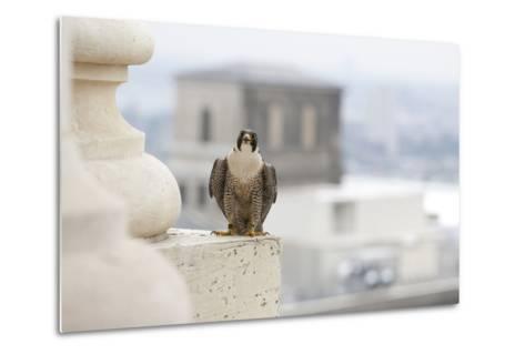 Peregrine Falcon (Falco Peregrinus) Perched On City Hall, Philadelphia, Pennsylvania, USA, May-Doug Wechsler-Metal Print