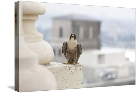 Peregrine Falcon (Falco Peregrinus) Perched On City Hall, Philadelphia, Pennsylvania, USA, May-Doug Wechsler-Stretched Canvas Print