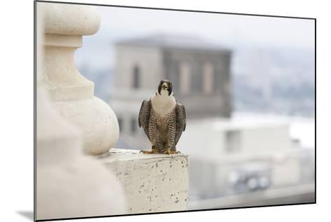 Peregrine Falcon (Falco Peregrinus) Perched On City Hall, Philadelphia, Pennsylvania, USA, May-Doug Wechsler-Mounted Photographic Print