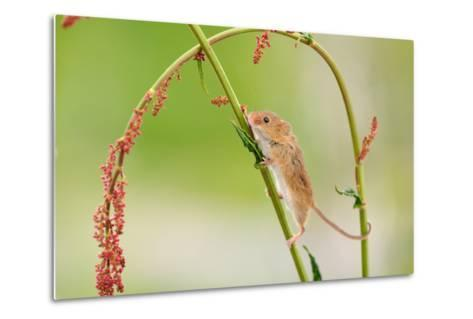 Harvest Mouse (Micromys Minutus) On Stalk, West Country Wildlife Photography Centre, Captive, June-David Pike-Metal Print