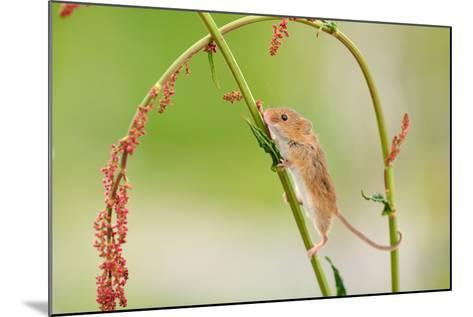 Harvest Mouse (Micromys Minutus) On Stalk, West Country Wildlife Photography Centre, Captive, June-David Pike-Mounted Photographic Print