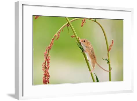 Harvest Mouse (Micromys Minutus) On Stalk, West Country Wildlife Photography Centre, Captive, June-David Pike-Framed Art Print