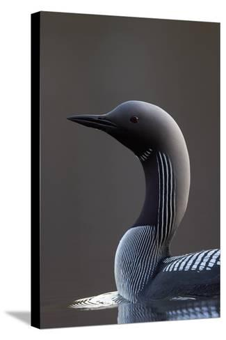 Black-Throated Diver (Gavia Arctica) On Water, Finland, May-Markus Varesvuo-Stretched Canvas Print