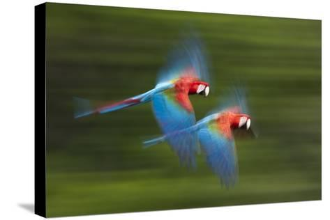 Red And Green Macaws (Ara Chloropterus) In Flight, Motion Blurred Photograph, Buraxo Das Aras-Bence Mate-Stretched Canvas Print
