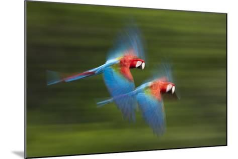 Red And Green Macaws (Ara Chloropterus) In Flight, Motion Blurred Photograph, Buraxo Das Aras-Bence Mate-Mounted Photographic Print