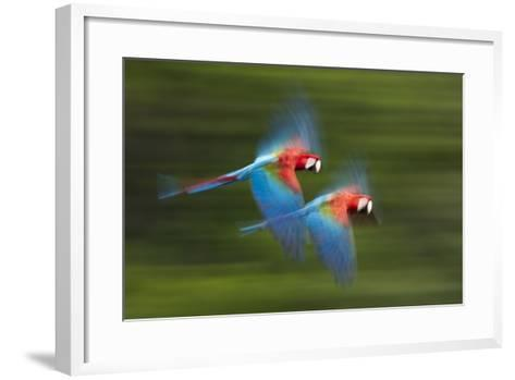 Red And Green Macaws (Ara Chloropterus) In Flight, Motion Blurred Photograph, Buraxo Das Aras-Bence Mate-Framed Art Print