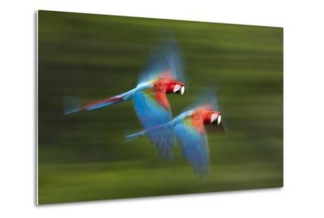 Red And Green Macaws (Ara Chloropterus) In Flight, Motion Blurred Photograph, Buraxo Das Aras-Bence Mate-Metal Print