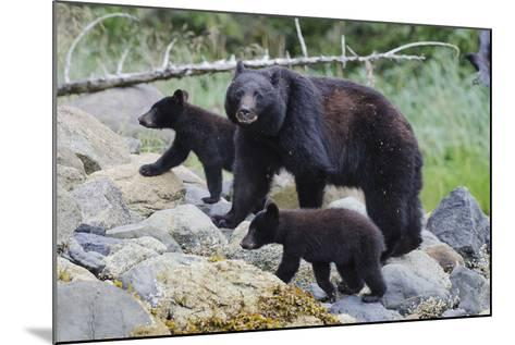 Vancouver Island Black Bear (Ursus Americanus Vancouveri) Mother With Cubs On A Beach-Bertie Gregory-Mounted Photographic Print
