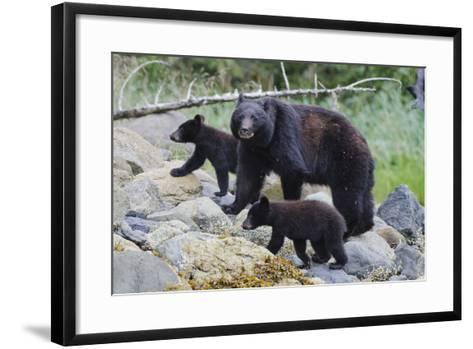 Vancouver Island Black Bear (Ursus Americanus Vancouveri) Mother With Cubs On A Beach-Bertie Gregory-Framed Art Print