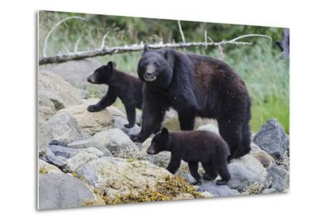 Vancouver Island Black Bear (Ursus Americanus Vancouveri) Mother With Cubs On A Beach-Bertie Gregory-Metal Print