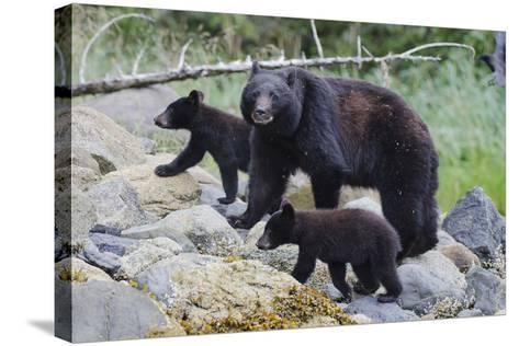 Vancouver Island Black Bear (Ursus Americanus Vancouveri) Mother With Cubs On A Beach-Bertie Gregory-Stretched Canvas Print