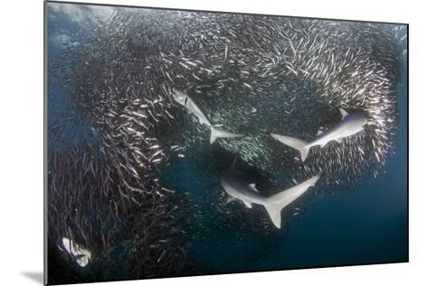 Blue Shark (Prionace Glauca) Feeding On Anchovy (Engraulis Encrasicolus) Bait Ball-Chris & Monique Fallows-Mounted Photographic Print