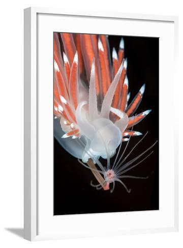 A Nudibranch (Flabellina Nobilis) Feeding On A Solitary Hydroid (Tubularia Indivisa)-Alex Mustard-Framed Art Print