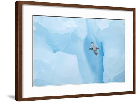 Fulmer (Fulmras Glacialis) In Flight Near Blue Glacier, Svalbard, July-Danny Green-Framed Art Print
