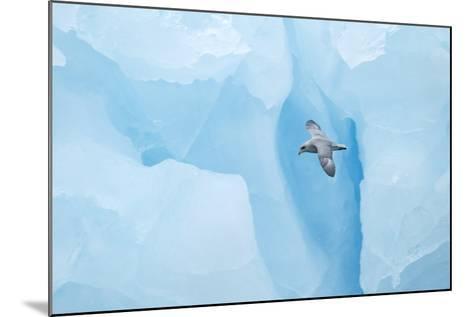 Fulmer (Fulmras Glacialis) In Flight Near Blue Glacier, Svalbard, July-Danny Green-Mounted Photographic Print