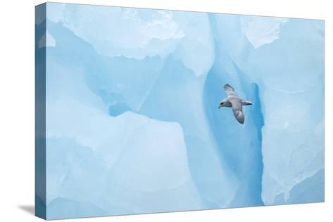 Fulmer (Fulmras Glacialis) In Flight Near Blue Glacier, Svalbard, July-Danny Green-Stretched Canvas Print