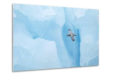 Fulmer (Fulmras Glacialis) In Flight Near Blue Glacier, Svalbard, July-Danny Green-Metal Print